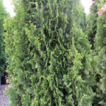 Cedar – Degroot's Spire