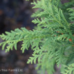 Cedar – Technito
