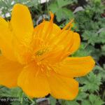 Orange Princess Globeflower