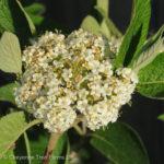 Viburnum – Mohican Wayfaring Tree