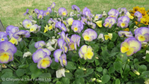 Viola cornuta ETAIN Wild Pansy Flowering Perennial Tree Nursery, Greenhouse & Garden Centre