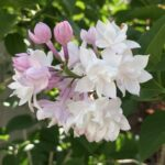 Lilac – Beauty of Moscow