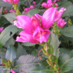 Turtlehead – Pink
