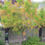 Amur Maple – Tree Form