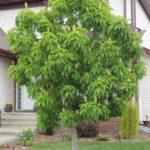 Aesculus OHIO BUCKEYE Tree Beaumont, Alberta Edmonton, Alberta Tree Nursery, Greenhouse & Garden Centre