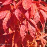 Aesculus glabra OHIO BUCKEYE Tree Beaumont, Alberta Edmonton, Alberta Tree Nursery, Greenhouse & Garden Centre