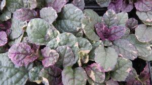 dark leaves, shade perennial, rock garden, groundcover, greenhouse, garden centre, leduc, beaumont