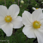 Anemone sylvestris SNOWDROP Windflower Perennial Beaumont, Alberta Edmonton, Alberta Tree Nursery, Greenhouse & Garden Centre
