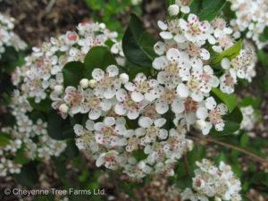 Chokeberry – Autumn Magic Black