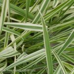 Oat – Bulbous Grass
