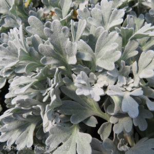 Boughton Silver Brocade Sage