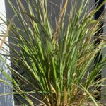 Feather Reed – Avalanche Variegated Grass