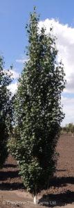 Parkland Pillar Birch – FE