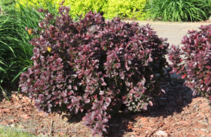 Berberis thunbergi CONCORDE Barberry Shrub Beaumont, Alberta Edmonton, Alberta Tree Nursery, Greenhouse & Garden Centre