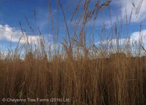 cheyenne tree farms, grasses, ornamental grass, drought tolerant landscape, shop T4X, shop leduc