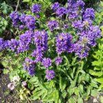 Bellflower – Superba Clustered