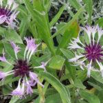 Cornflower – Amethyst in Snow
