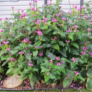 pink flowers, tall perennial, sun, pink flowers, beaumont garden centre