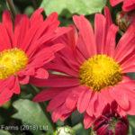 Daisy Chrysanthemum – Mammoth Red