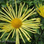 Daisy Chrysanthemum – Mammoth Yellow Quill