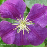Etoile Violet Clematis