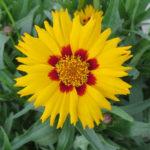 Tickseed – Sunfire