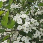 Snowbird Hawthorn