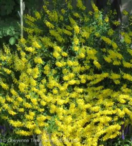 Cytisus nigerians CYNI Broom Tree Nursery, Greenhouse & Garden Centre