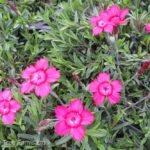 Brilliant Maiden Pinks