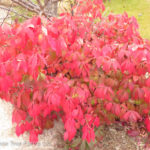 Dwarf Winged Burning Bush
