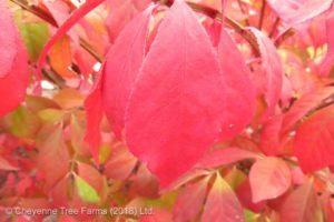 Euonymus alata DWARF BURNING Bush Shrub Beaumont, Alberta Edmonton, Alberta Tree Nursery, Greenhouse & Garden Centre