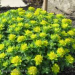 Euphorbia polychroma CUSHION Spurge Flowering Perennial Beaumont, Alberta Edmonton, Alberta Tree Nursery, Greenhouse & Garden Centre