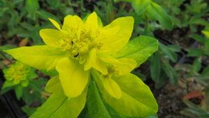 yellow flowers, alpine garden, rock garden, yellow flowers, beaumont garden centre, beaumont tree farm