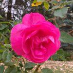 Rose Canadian Artist – Felix Leclerc