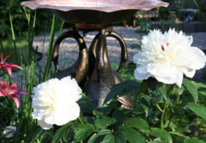 white peony, pink streaks, heirloom perennials, beaumont garden centre