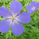 Cranesbill Geranium – Johnson's Blue