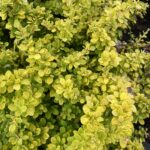 Barberry – Golden Nugget