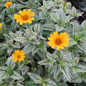 Heliopsis LORRAINE SUNSHINE False Sunflower Flowering Perennial Beaumont, Alberta Edmonton, Alberta Tree Nursery, Greenhouse & Garden Centre