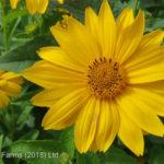 False Sunflower – Summer Sun
