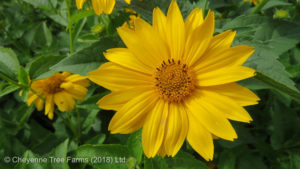 Heliopsis SUMMER SUN False Sunflower Flowering Perennial for sale at Beaumont, Alberta Edmonton, Alberta Tree Nursery, Greenhouse & Garden Centre