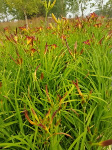 red flowers, blooms all summer, grass like foliage, sunny location, beaumont, leduc, garden centre