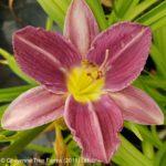 Daylily – Prairie Blue Eyes