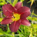 Daylily – Ruby Stella