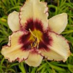Daylily – Sabine Baur