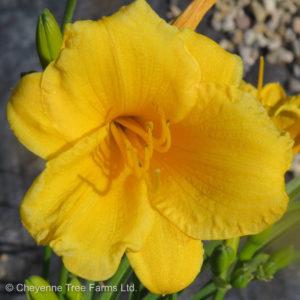 Hemerocallis STELLA D'ORO Daylily Flowering Perennial Beaumont, Alberta Edmonton, Alberta Tree Nursery, Greenhouse & Garden Centre