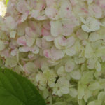 Limelight® Hydrangea Shrub or Tree Form