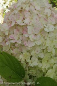 Hydrangea – Limelight® Shrub or Tree Form