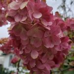 Hydrangea – Vanilla Strawberry™