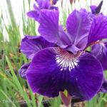 Iris Siberian – Ruffled Velvet