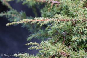 Juniper – Green Carpet